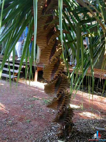 Винтообразная пальма