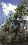 Монгольский дуб