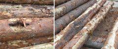 Рак, сухобокость древесины